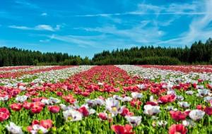 poppy-63755_640